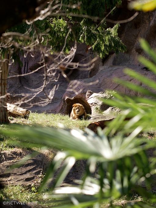 東山動物園のライオン