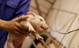 下呂のなっとく豚