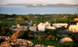 沖縄 勝連城跡の鳥