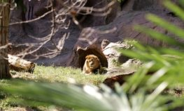 85mmで狙うライオン